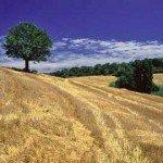 Campo di grano - Parco Naturale del San Bartolo
