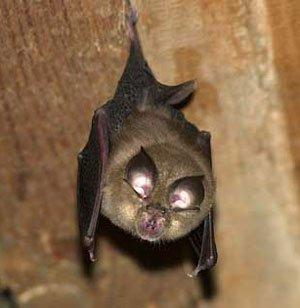 Pipistrello di Onferno