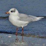 Uccelli marini - Parco Naturale San Bartolo