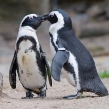Pinguini all'Acquario di Cattolica